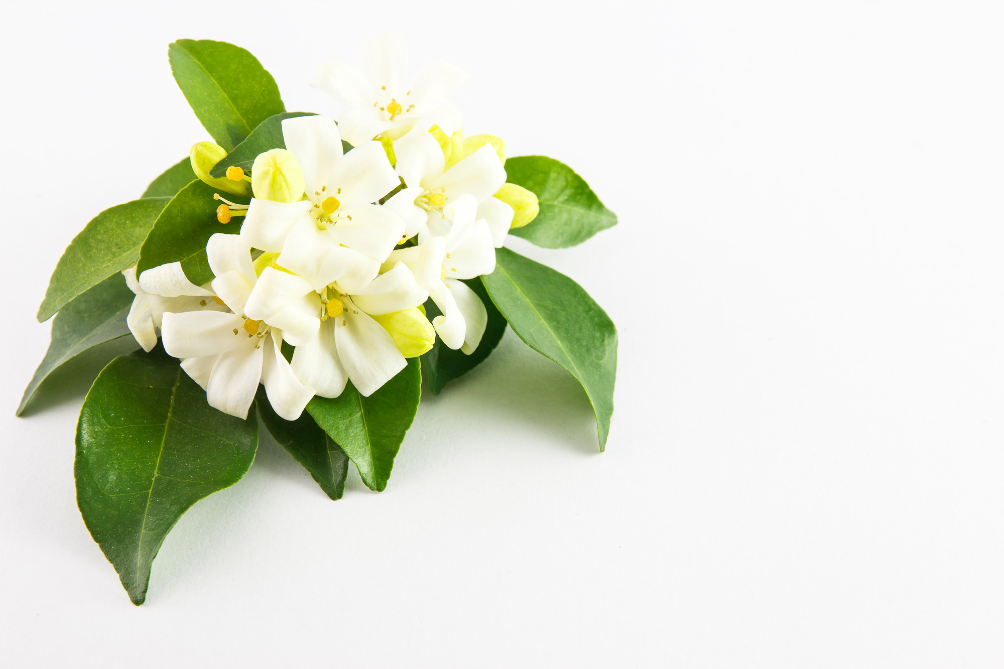White flower, Orange Jessamine on white background, copy space available